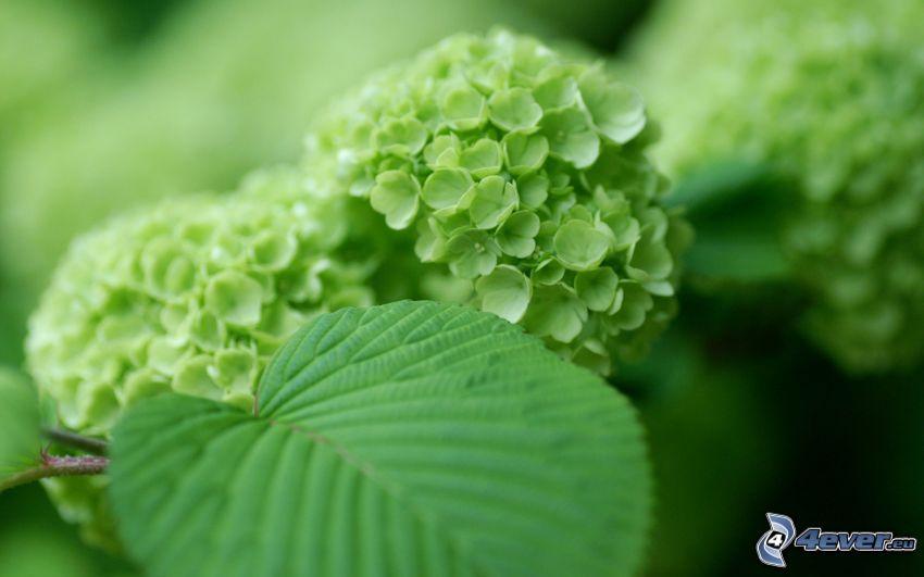 hydrangea, greenery