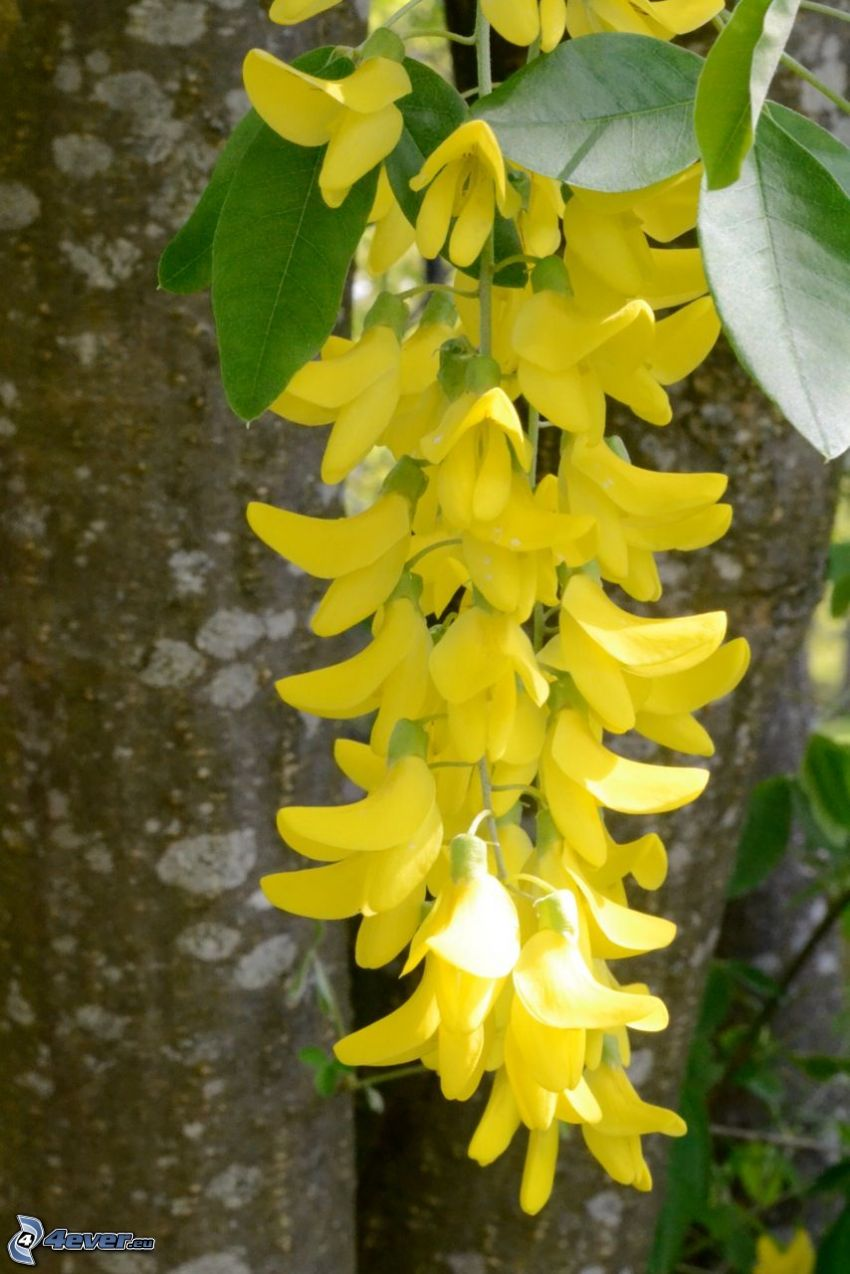 laburnum, yellow flowers