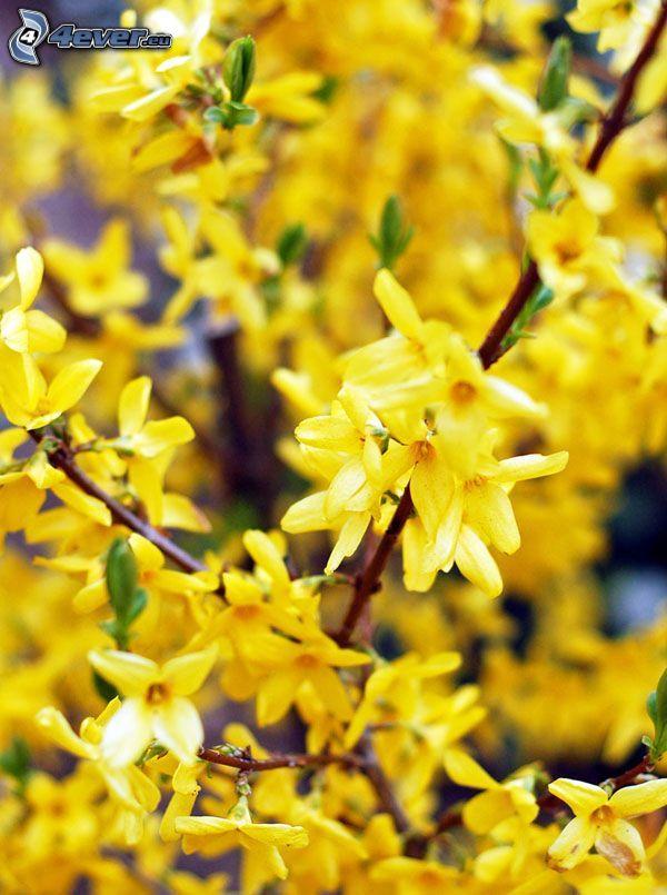 laburnum, yellow flowers