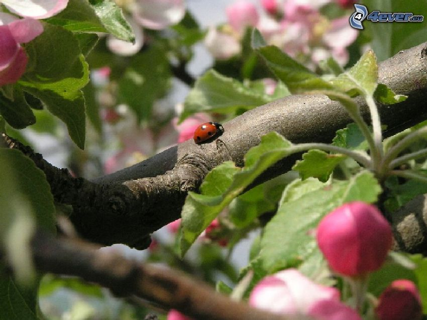 ladybug, flowery branch, leaves