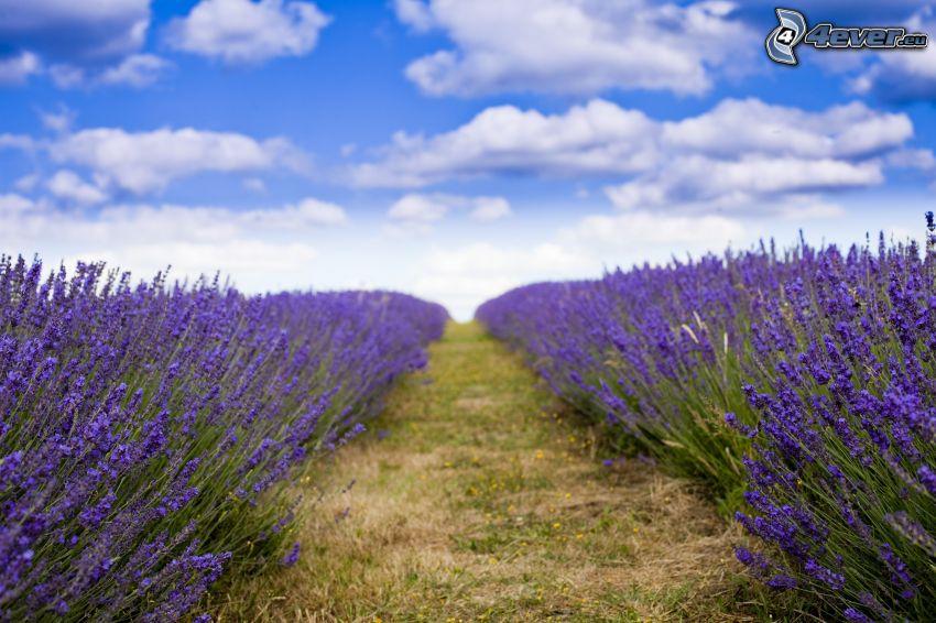 lavender field, clouds