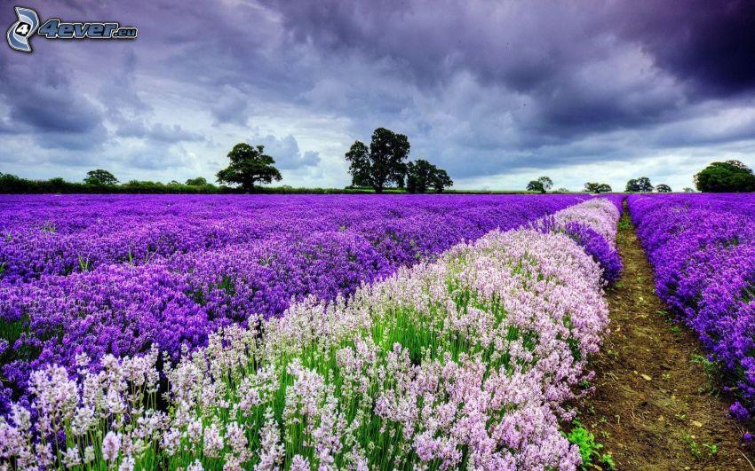 lavender field, dark clouds, trees