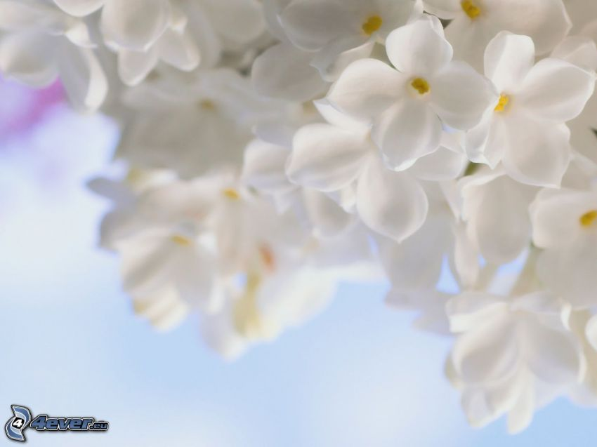 lilac, white flowers