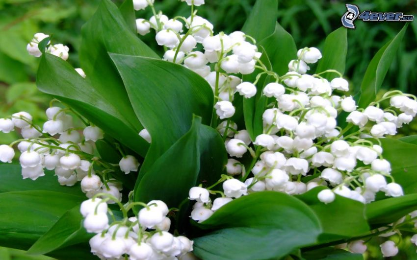 lily of the valley, green leaves