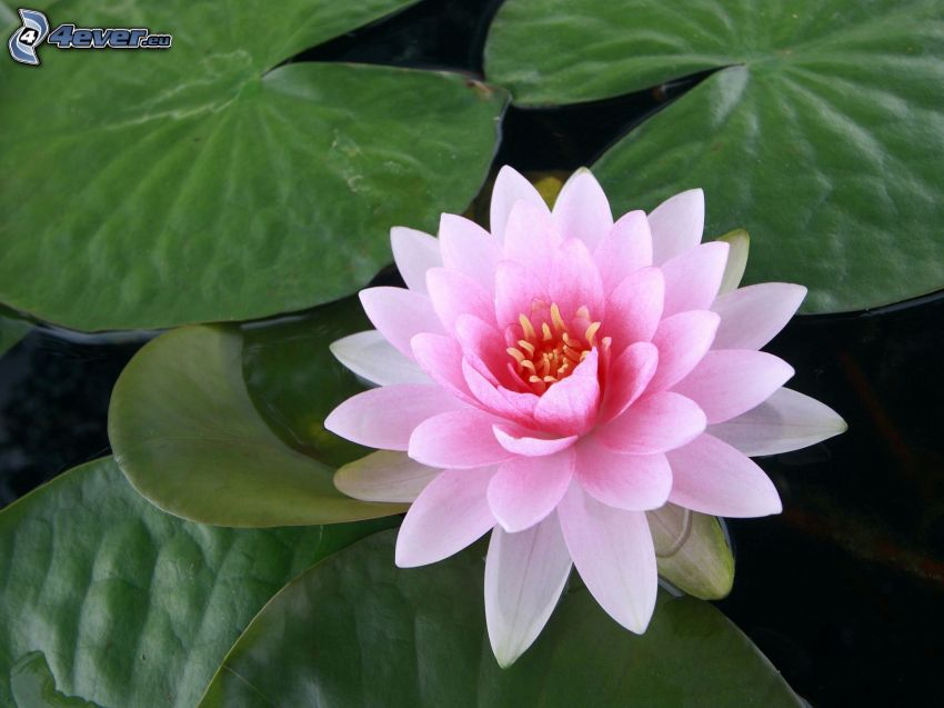 lotus flower, pink flower, water lilies