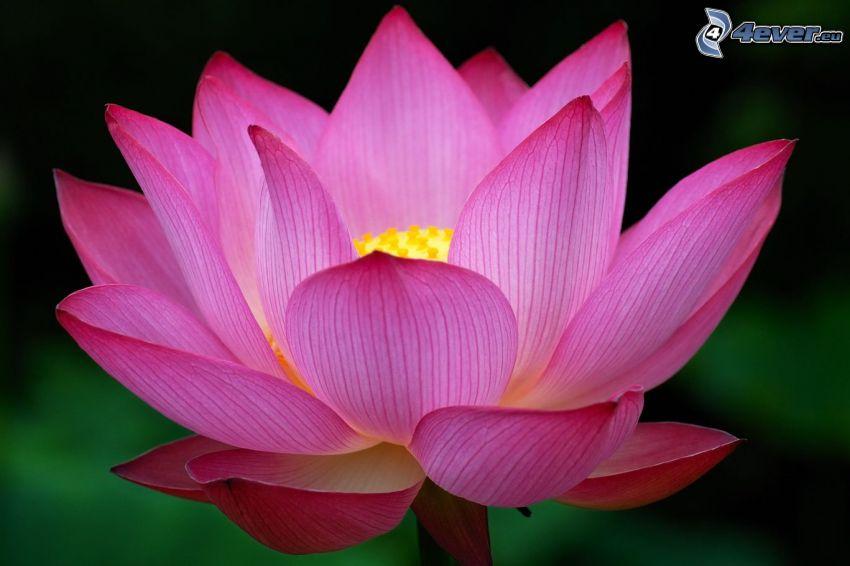 lotus flower, pink flower