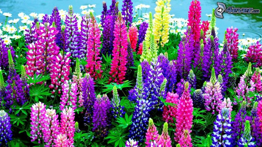 lupins, colored flowers