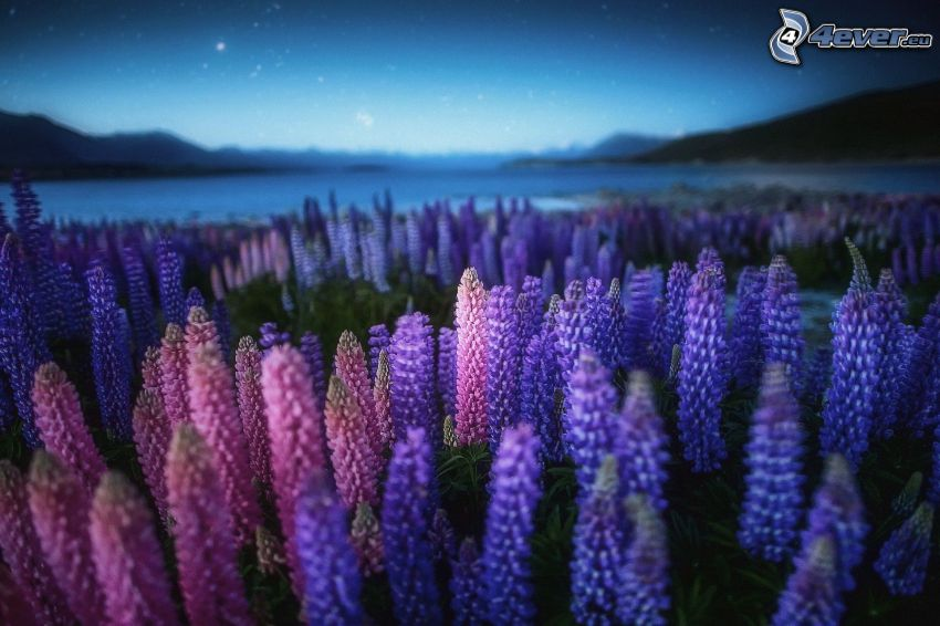 lupins, lake, night sky