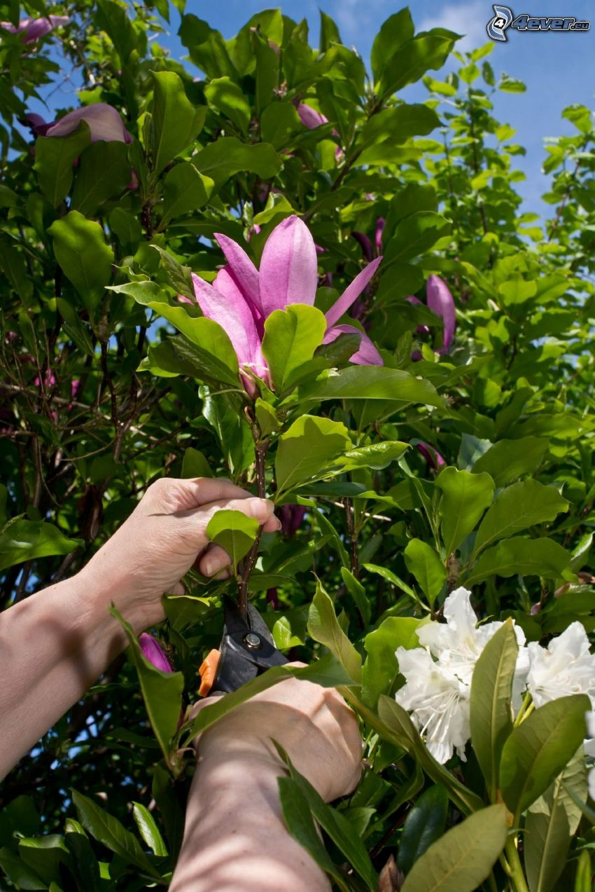 magnolia, pink flower, hands