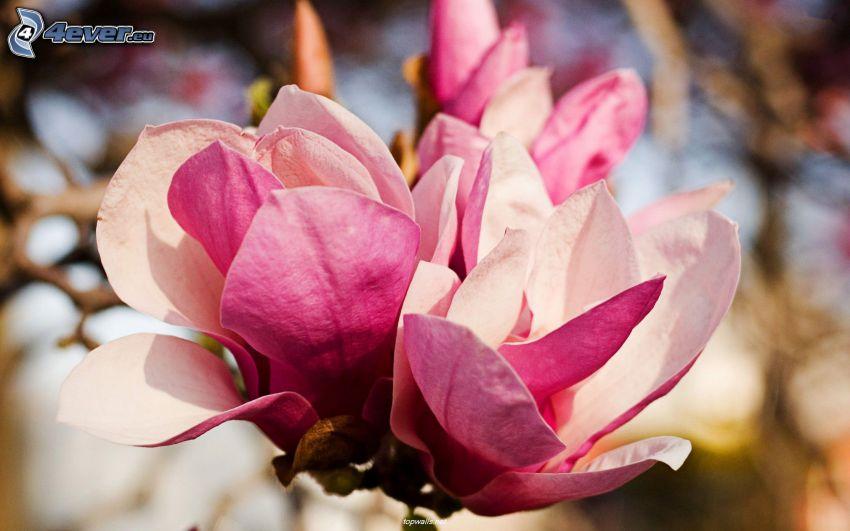 magnolia, pink flower
