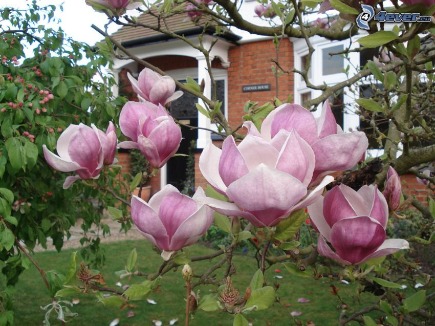 magnolia, pink flowers, house