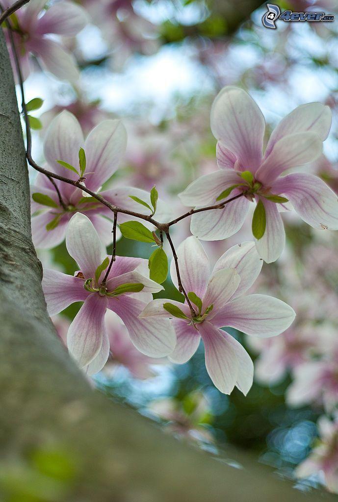magnolia, purple flowers