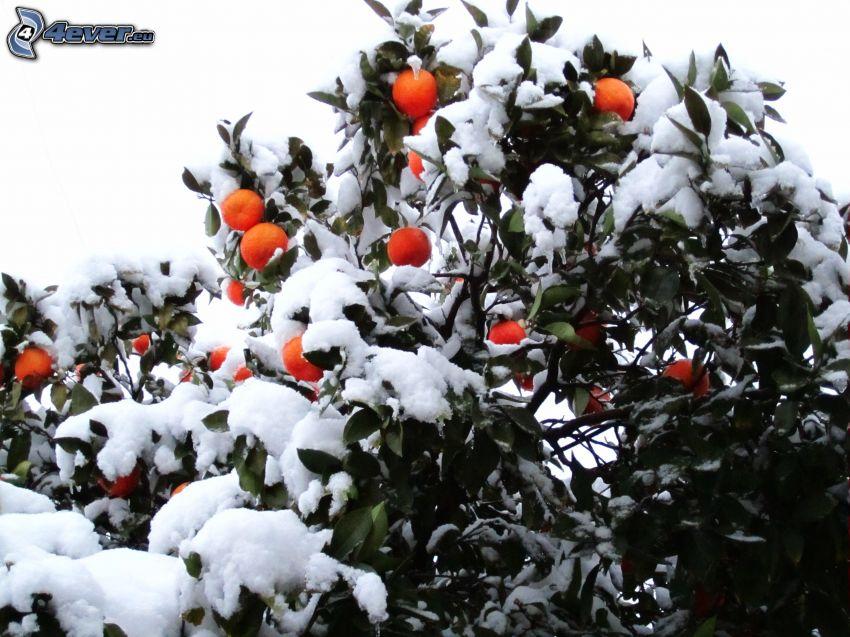 mandarine, snow