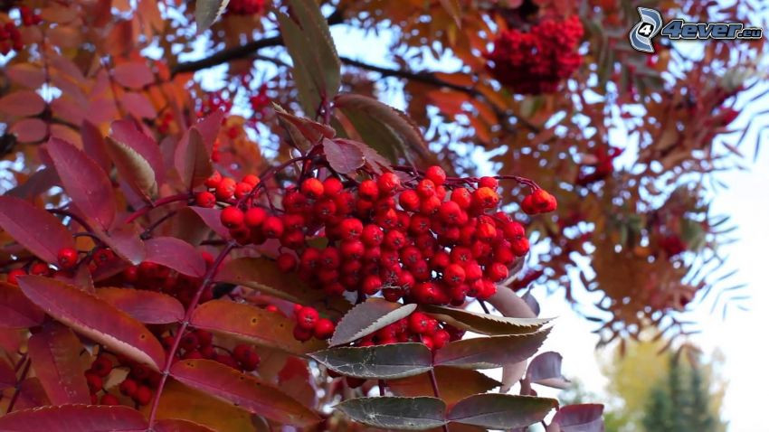 mountain-ash, red leaves