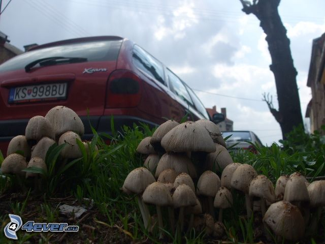 mushrooms, Citroën Xsara