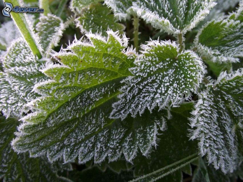 nettle, icing