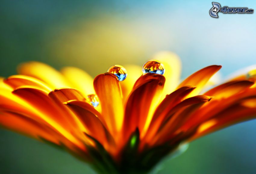 orange flower, drops of water