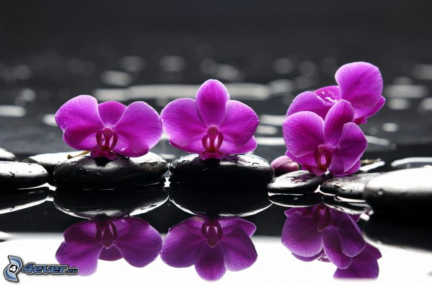 orchids, rocks, water, reflection