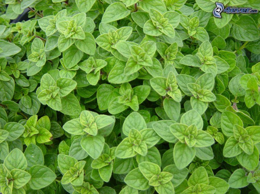 origanum vulgare, green leaves