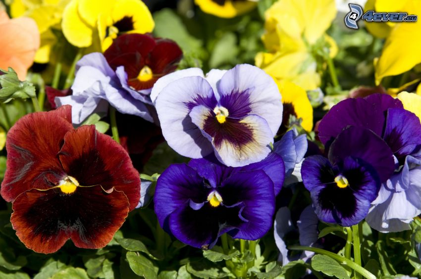 pansies, blue flowers, red flowers, yellow flowers