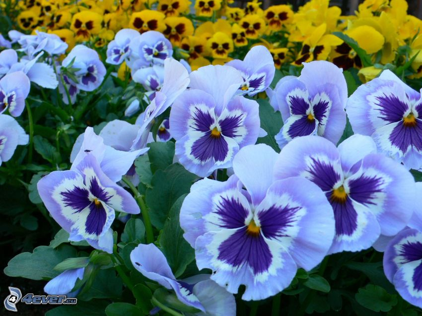 pansies, blue flowers, yellow flowers