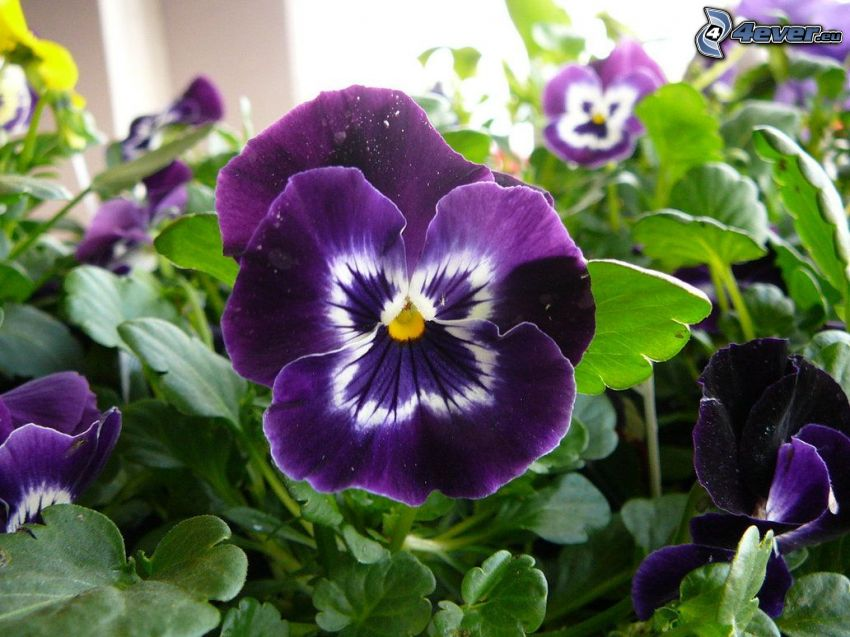 pansies, purple flowers, green leaves