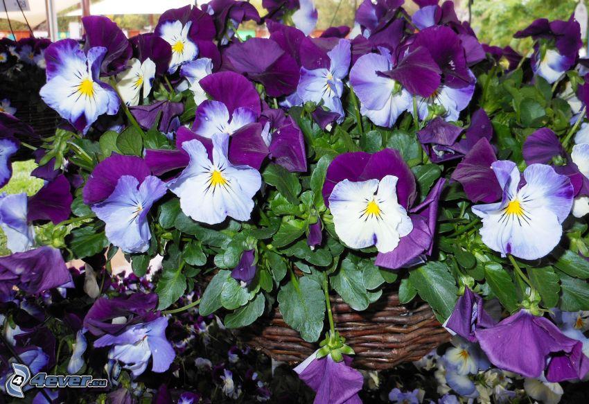 pansies, purple flowers, white flowers, basket