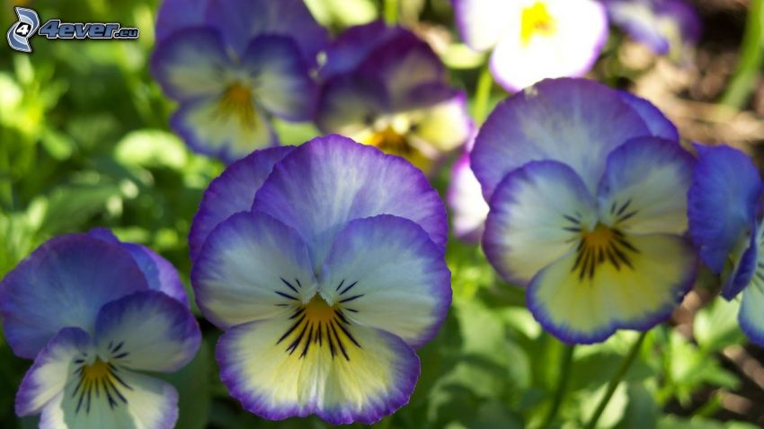pansies, purple flowers