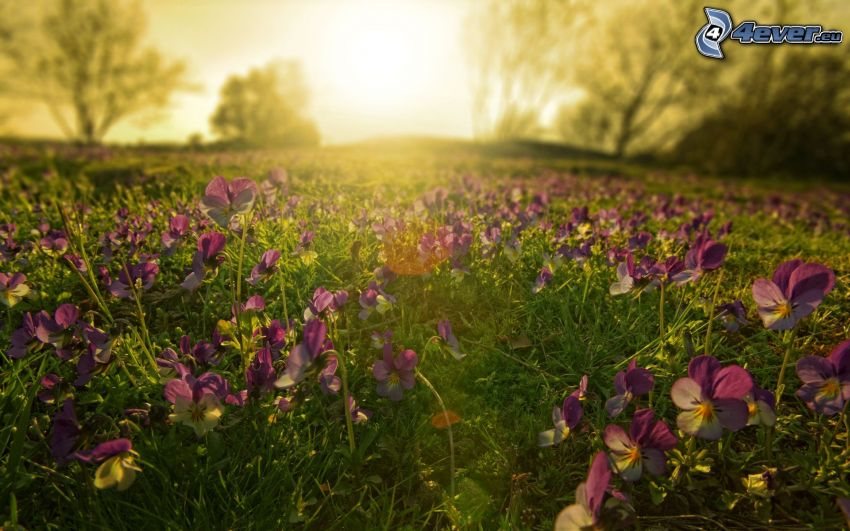 pansies, sunset in the meadow