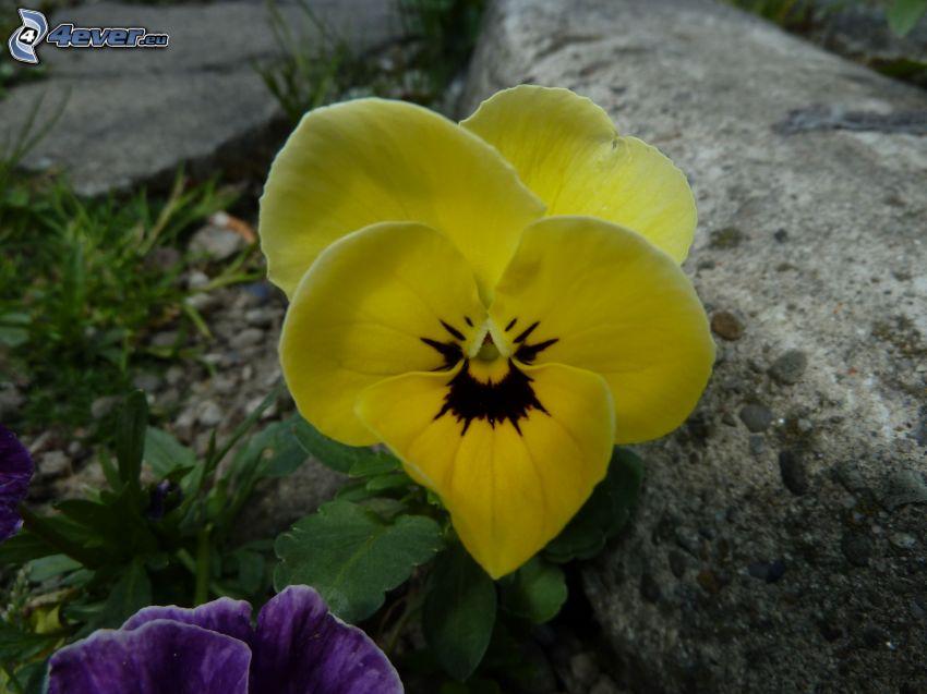 pansies, yellow flower, stone