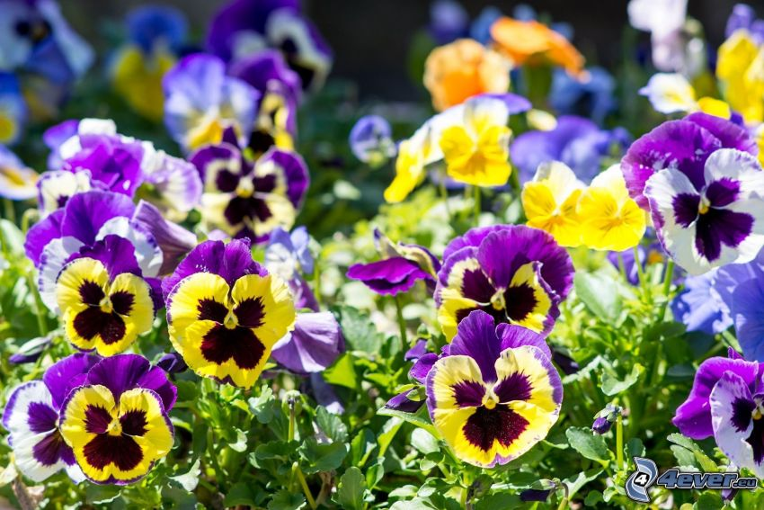 pansies, yellow flowers, purple flowers, blue flowers