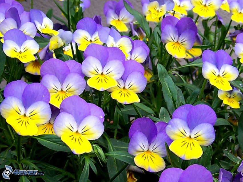 pansies, yellow flowers, purple flowers