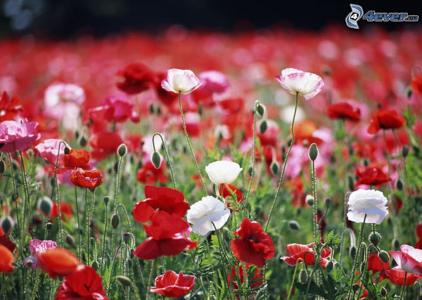 papaver rhoeas, flowers