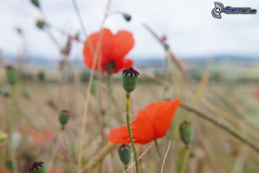 papaver rhoeas, meadow