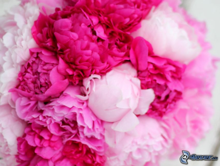 peony, pink flowers