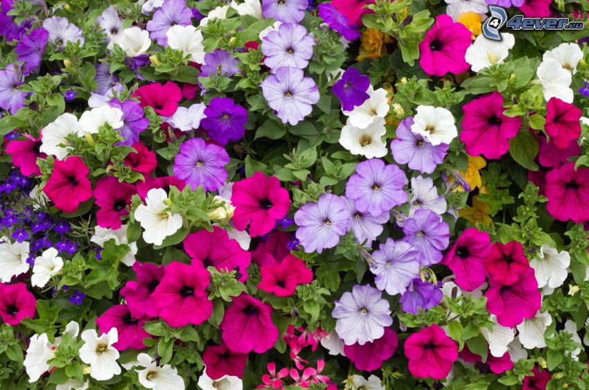 petunia, colored flowers