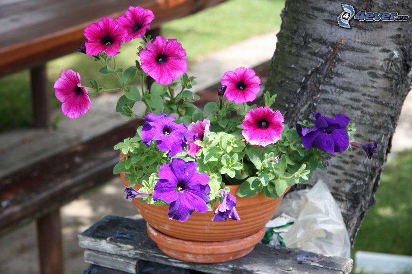 petunia, flower