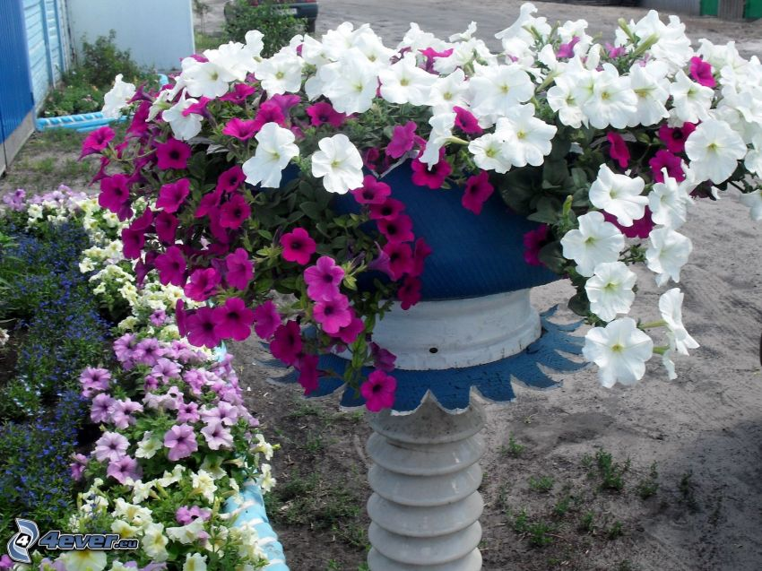 petunia, flower-pot, white flowers, purple flowers