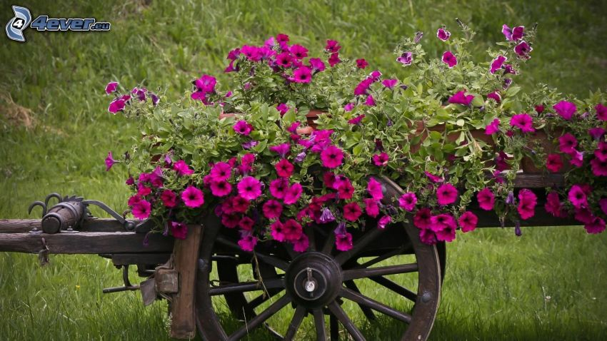 petunia, purple flowers, carriage
