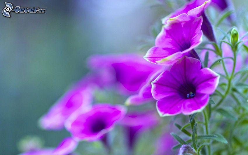 petunia, purple flowers