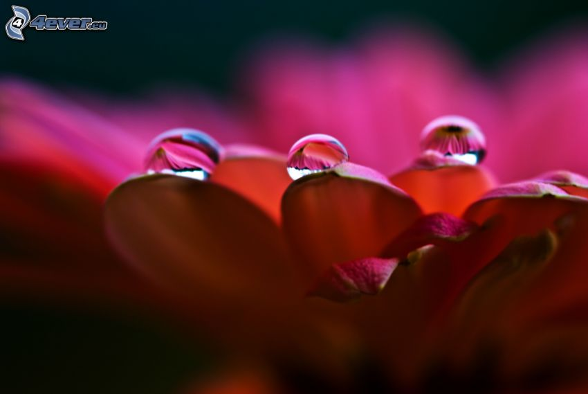 pink flower, drops of water
