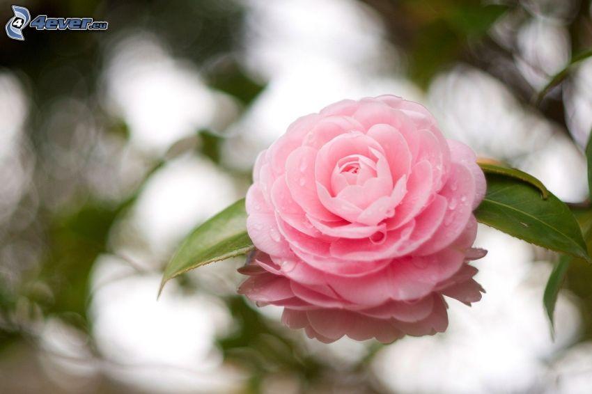pink flower, water