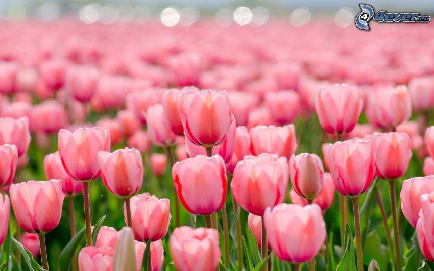 pink tulips, field