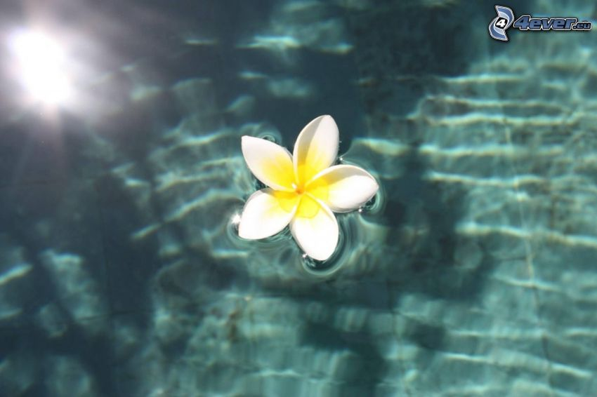 plumeria, white flower, water surface