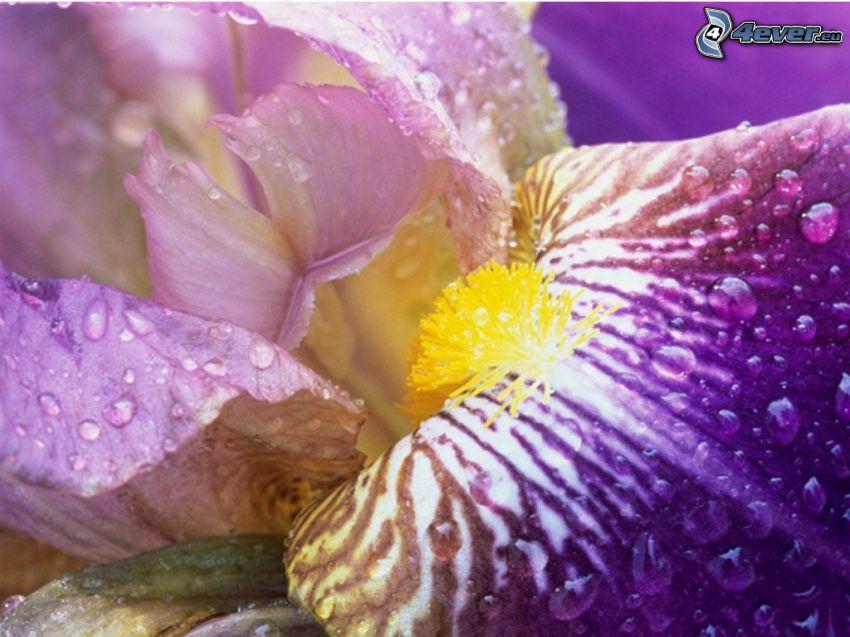 purple flower, dew flower