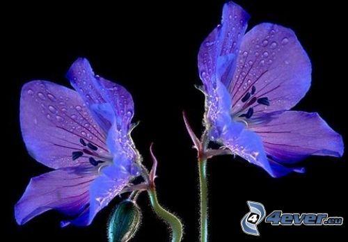 purple flowers, dew flower