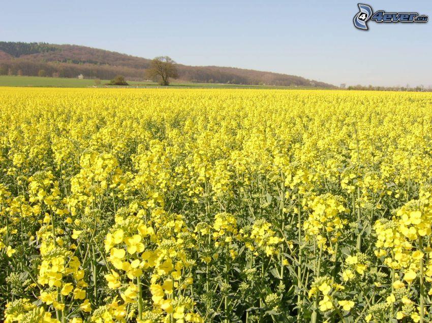 rapeseed, field
