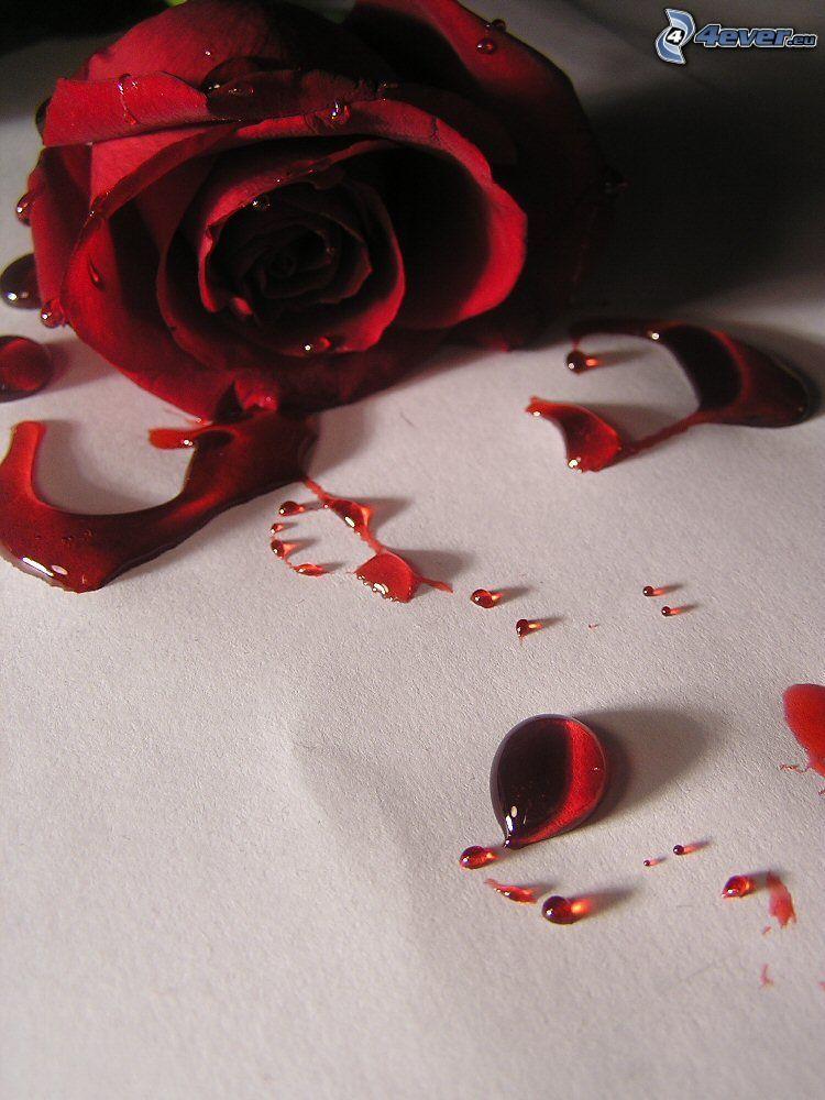 red rose, blood