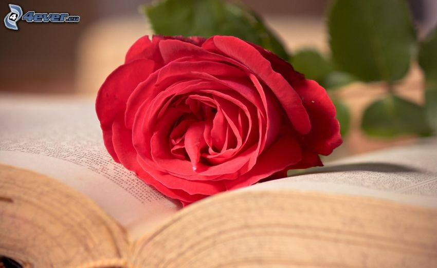 red rose, book
