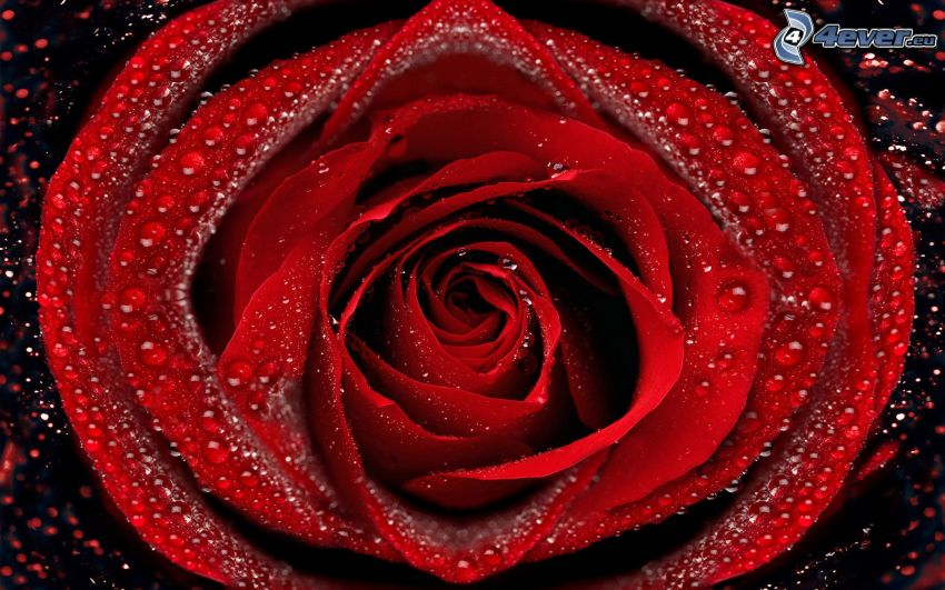 red rose, dew rose, drops of water